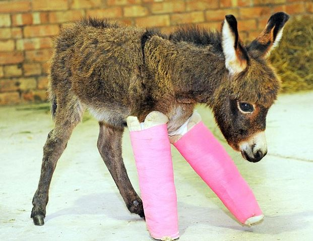 Cute Premature Donkey Wears Pink Casts