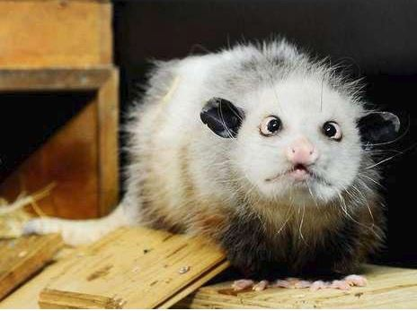 Heidi Opossum