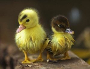 Cute Duck Names