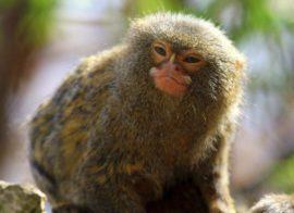 Pics of Finger Monkeys