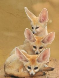 The Cute Fennec Fox