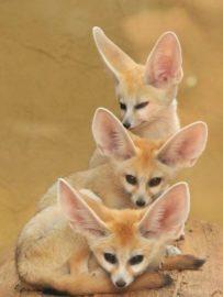 The Cute Fennec Fox