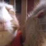 guinea pig pumpkin spice