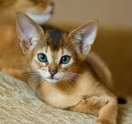 Animals with Cute Ears - Abyssinian Cat