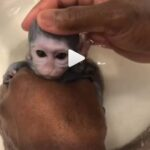 Baby Monkey Taking a Bath